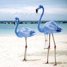 Rare blue flamingos, they do exist!