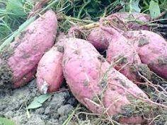 Hama Dan Penyakit Pada Ubi Jalar ?? Ini Dia Cara Pengendaliannya - http://www.ruangtani.com/pengendalian-hama-dan-penyakit-tanaman-ubi-jalar/