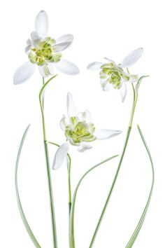 Snowdrops by Mandy Disher