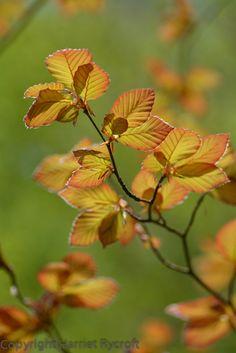 Fresh Copper Beech foliage at Bruern, Oxfordshire