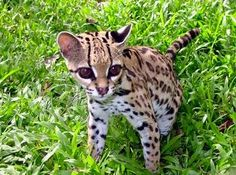 Image of: Zoo Amazon Rainforest Animals Amazon Rainforest Animals The Ocelot Amazon Rainforest Animals Baby Kittens Pinterest 45 Best Amazon Rainforest Animals Images Amazon Rainforest Animals