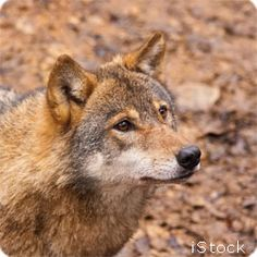 Help Protect Endangered Red Wolves - Take Action! Help keep red wolves from going extinct by editing and sending a message to your members of Congress, urging them to increase funding for red wolf conservation. List Of Animals, All About Animals, Animals And Pets, Cute Animals, Hunting Baby, Coyote Hunting, Archery Hunting, Baby Wolves, Red Wolves