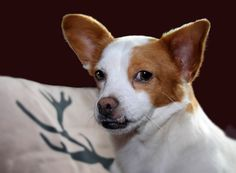 Chihuahua-Mix-Dame Odile, man erkennt sie am stets leicht vorwurfsvollen Blick...