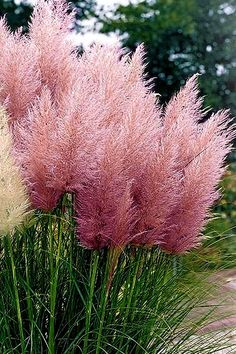 Buy Pink Feathers Pampas Grass For Sale Online From Wilson Bros Gardens - Modern Ornamental Grass Landscape, Ornamental Grasses, Grass For Sale, Pink Grass, Fountain Grass, Garden Online, Grass Seed, Large Plants, Outdoor Plants