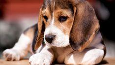 Caractéristiques des races de chiens... pour faire le bon choix!