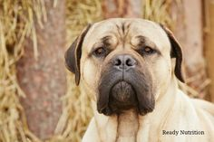 Home Protection Dogs: Amp Up Your Home's Security Perimeter With These Tips By Ruby Burks- Ready Nutrition - In the previous article on how your guard dogs could be compromised, I talked about how easy it is for me to get past your dog and onto your property when you're not...