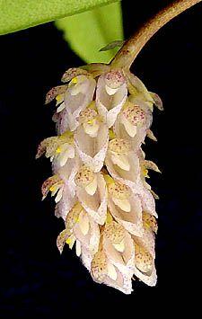 Bulbophyllum sicyobulbon