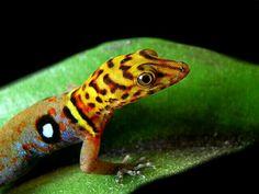 Gorgeous Eyespot Gecko: I guess there is no wondering how it got it's name… Beautiful Creatures, Animals Beautiful, Cute Animals, Geckos, Reptiles And Amphibians, Mammals, Gecko Terrarium, Lizard Dragon, Chameleon Lizard