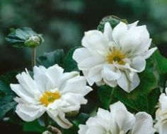 Anemone japonica - Whirlwind, Høst Anemone