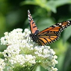 einheimische pflanzen Grow Butterfly Weed Seeds - Plant Swamp Milkweed White Crisp, white blooms atop lush foliage are a sight to behold all on their own, but once they begin to Grow Butterflies, Butterfly Weed, Butterfly Flowers, Monarch Butterfly, White Flowers, Beautiful Butterflies, Butterfly Project, Butterfly Species, Butterfly Kisses