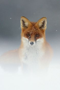 Brown Fox Wallpaper iPhone - Best iPhone Wallpaper