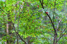 Plants that grow well under cedar trees -  Vaccinium parvifolium - red huckleberry bush
