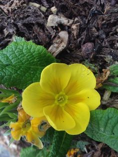 Primroses are lovely in May.