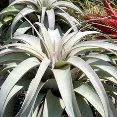 943 Best Air Plants Images In 2020 Air Plants Plant Design Plants