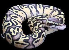 Firefly Ball Python
