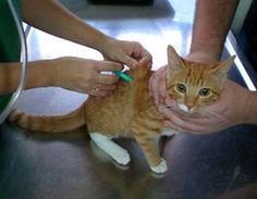Gatos y gatitos - Gatitolandia - Vacunas