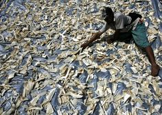A worker dries shark fins in a fishing port in Banyuwangi in Indonesia's East Java province on June 27, 2008. Chinese netizens on July 4, 2012 bit back at a government decision to ban serving shark fin soup at state banquets within three years, mocking it as a timid step by leaders who spend lavishly on other delicacies and are aloof from common concerns. (Reuters Photo/Sigit Pamungkas)