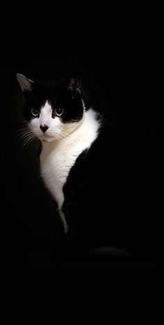 black and white tuxedo cat | Very cool photo blog/ aristocratic cats                                                                                                                                                     More