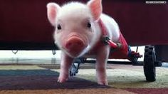 """This is a little piglet named Cris P. Bacon. He was born without his hind legs, but thanks to his loving owners, he is able to walk/""""wheel(:"""" around by a sort of make shift wheelchair made from simple children's toys. He's feed from a bottle and is spoiled rotten!(: Bless his little heart❤"""