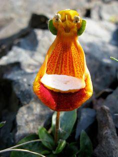 Flores incríveis (2Alienígena feliz (Calceolaria Uniflora)3)