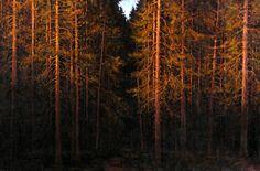 Качанов В. Красные сосны. 1989