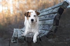 Jack Russell Terrier Winter Mood - by Heavenly Pet Photography