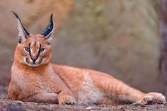 The Caracal is a fiercely territorial medium-sized cat ranging over Western Asia, South Asia and Africa. Check out those wonderful ears!!