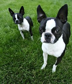 10 Cool Facts About Boston Terriers - Dogs Tips & Advice | mom.me