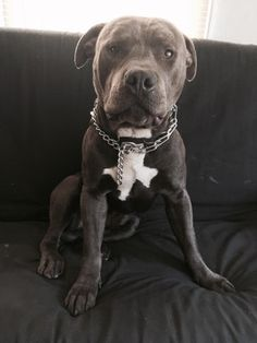 Looks tough, but he's really just a big baby : pitbulls