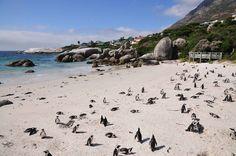 Foxy Beach, Cape Town (Afrique du Sud): Où peut-on appercevoir une colonie de pingouins (ils sont environ 3000) dans leur milieu naturel, en dehors des banquises d'Antarctique? En Afrique du Sud, depuis la Foxy Beach (équipée de plateformes spéciales pour les observer) plus précisément.