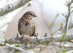 http://fineartamerica.com/featured/1-song-sparrow-angie-vogel.html