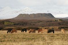 Beautiful horses gathering around by the crater Eldborg. This is Snæfellsnes peninsula, West Iceland.