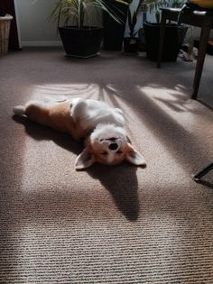 animal-factbook: Modern Corgis are run by solar power. Their solar panels are made into microscopic bits to be planted into your fur and captures sun light by laying flat on their back. This newest technology contributes absolutely nothing to the environment as corgis do not use fuel in the first place, but as the new generation are becoming increasingly tech savvy, dog breeders needed a way to attract their attention.