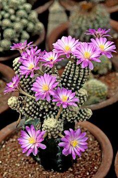 Mammillaria there sae - Fique a conhecer as nossas dicas de jardinagem em: www.asenhoradomonte.com