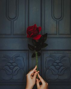 photo of person holding red rose flower Rose in hand Rose Flower Photos, Red Rose Flower, Beautiful Rose Flowers, Love Rose, Red Flowers, Red Roses, Flower Blossom, Black Roses, Rose Images