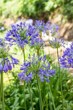 Agapanthus or Blue Lilly, or African Lilly is one of the most wonderful summer plants you can find. Unfortunately without a fragrance but the displays are stunning. Flowering in August, Agapanthus require south facing aspect in full sun with well-draining soil. #Agapanthus #Africanlilly #Bluelilly