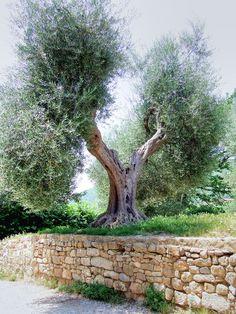 antico olivo toscano de Rita RR