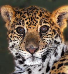 ✮ Cheetah