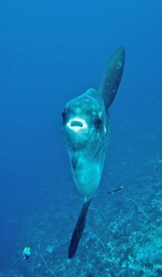 Mola-mola/sunfish at Nusa Penida, Bali.