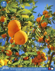 Un nuevo naranjo en mi patio se vería precioso! Y con lo ricas que son las naranjas, mejor aún!