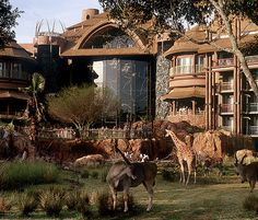 Disney Animal Kingdom Villas - giraffes and zebras just outside and can use our RCI membership to stay