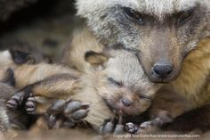 Bat-eared fox with her 13 day old pup.