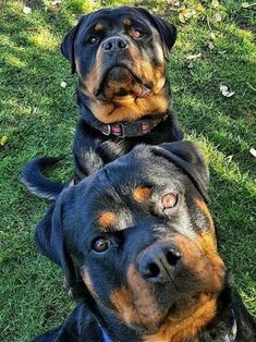 """Receive fantastic tips on """"Rottweiler puppies"""". They are accessible for you on our internet site. Pitbull, Bulldog Breeds, Puppy Breeds, Cute Puppies, Cute Dogs, Dogs And Puppies, Doggies, Chihuahua Dogs, Big Dogs"""