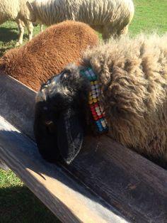 www.karrasfarm.com  New and Improved Assaf dairy sheep. USA, Greece and Cyprus. Skype- Karras Farm