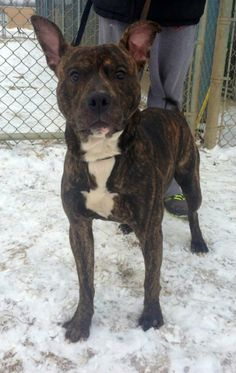 ADOPTED! Kennel # 13 Pit Bull Terrier • Young • Male • Large Lorain County Dog Kennel Elyria, OH WHAT A HANDSOME BOY!!  That face!