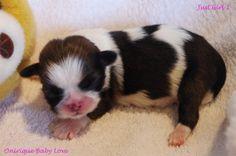 1er chiot shih-tzu femelle âgée de 5 jours : Crédit photo : Bernadette Capparos