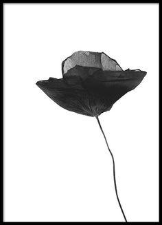 Black Poppy flower, poster in de groep Posters / Zwart wit bij Desenio AB (8629)