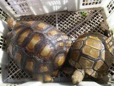 Emys Tortoise
