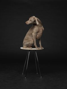 William Wegman, Lit From Within, 2015, Barry Whistler Gallery