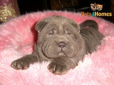 CHOWPEI PUPPY,- OH!!!! I'm struggling to contain myself here! He is the cutest!
